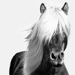 Horse with white hair  art print by Gallerist