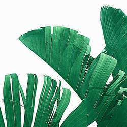 Long green banana leaf  art print by Gallerist