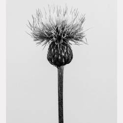 Thistle flower  art print by Gallerist