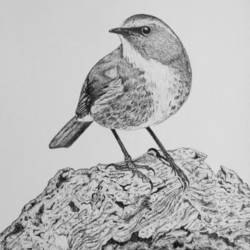 bird, 11 x 14 inch, biju puthiyapurail,paintings for living room,animal paintings,ivory sheet,ball point pen,11x14inch,GAL04741707