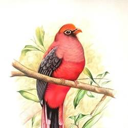 ward's trogon, 11 x 14 inch, ajay  singh peelwa,paintings,wildlife paintings,paintings for dining room,paintings for living room,paintings for bedroom,paintings for office,paintings for hotel,canson paper,watercolor,11x14inch,GAL0937819109