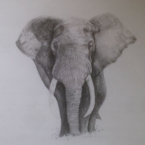 elephant, 12 x 17 inch, arpana d,fine art drawings,paintings for living room,wildlife paintings,animal paintings,paper,charcoal,12x17inch,GAL09642430