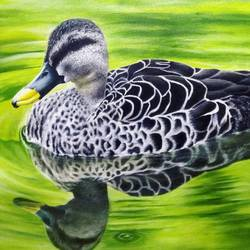 spot billed duck, 24 x 30 inch, atul patel,24x30inch,canvas,wildlife paintings,paintings for office,paintings for office,oil color,GAL01091424519
