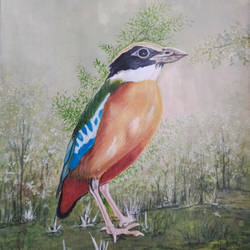 blue winged pitta, 12 x 17 inch, aarti jadli,12x17inch,canson paper,paintings,wildlife paintings,nature paintings,paintings for living room,paintings for office,paintings for school,watercolor,paper,GAL01247425577