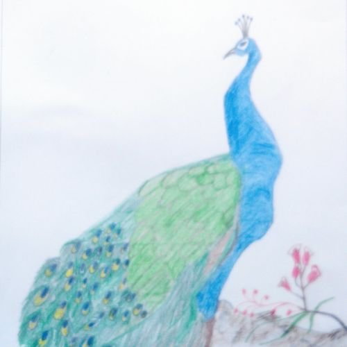 peacock, 9 x 11 inch, mrs. kalyani lahon,wildlife paintings,paintings for dining room,paper,pencil color,9x11inch,GAL06572747
