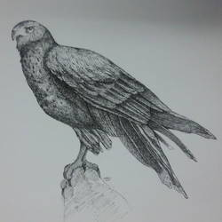 eagle, 14 x 11 inch, syed akheel,fine art drawings,paintings for living room,thick paper,pen color,14x11inch,GAL011352929