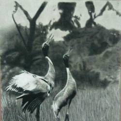 saras cranes, 14 x 18 inch, poornima yellapurkar,14x18inch,canson paper,drawings,photorealism drawings,paintings for dining room,paintings for living room,paintings for bedroom,paintings for office,paintings for kids room,paintings for hotel,charcoal,GAL0953529736