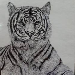 tiger pen sketch, 11 x 9 inch, divya manoharan,11x9inch,paper,paintings for living room,paintings for kids room,paintings for hotel,paintings for kitchen,expressionism drawings,impressionist drawings,paintings for living room,paintings for kids room,paintings for hotel,paintings for kitchen,pen color,paper,GAL01875430322
