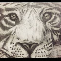 white tiger, 10 x 8 inch, swetha srinivasan,fine art drawings,paintings for office,thick paper,charcoal,10x8inch,GAL012013053