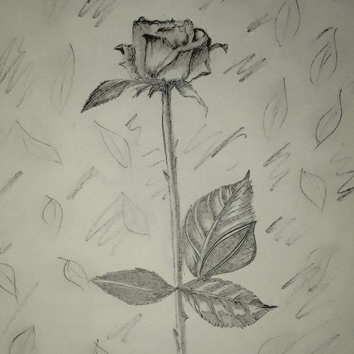 rose sketch, 12 x 17 inch, anjali pathak,12x17inch,paper,drawings,paintings for living room,paintings for bedroom,paintings for office,paintings for kids room,fine art drawings,paintings for living room,paintings for bedroom,paintings for office,paintings for kids room,paper,GAL01880230664