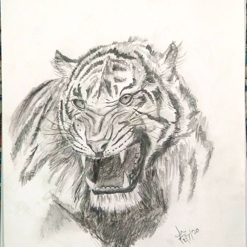 roaring tigress, 9 x 12 inch, shankha mitra,9x12inch,ivory sheet,drawings,expressionism drawings,fine art drawings,realism drawings,paintings for office,paintings for hotel,paintings for school,charcoal,pencil color,GAL02246934335