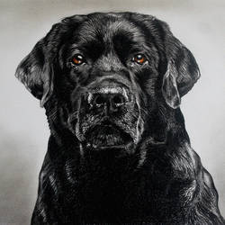 labrador dog, 14 x 10 inch, muralidhar suvarna,14x10inch,cartridge paper,paintings for living room,paintings for bedroom,paintings for office,paintings for hotel,paintings for school,photorealism drawings,realism drawings,paintings for living room,paintings for bedroom,paintings for office,paintings for hotel,paintings for school,pencil color,GAL0456934675