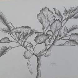 thorn apple, 15 x 11 inch, shraboni karan,15x11inch,thick paper,drawings,kids drawings,paintings for living room,pencil color,paper,GAL02335135138