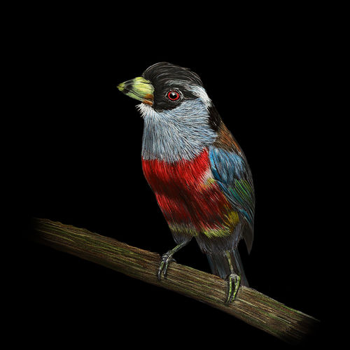 digital reprint of colour pencil sketch 'toucan barbet' on black background, 12 x 18 inch, arvind patole,12x18inch,thick paper,drawings,figurative drawings,fine art drawings,photorealism drawings,realism drawings,paintings for living room,paintings for office,paintings for hotel,paintings for school,pencil color,paper,GAL02469036090