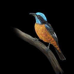 digital reprint of colour pencil sketch of  ' blue capped rock thrush', 12 x 18 inch, arvind patole,12x18inch,thick paper,drawings,fine art drawings,photorealism drawings,realism drawings,paintings for living room,paintings for office,paintings for hotel,paintings for school,paintings for hospital,pencil color,paper,GAL02469036091