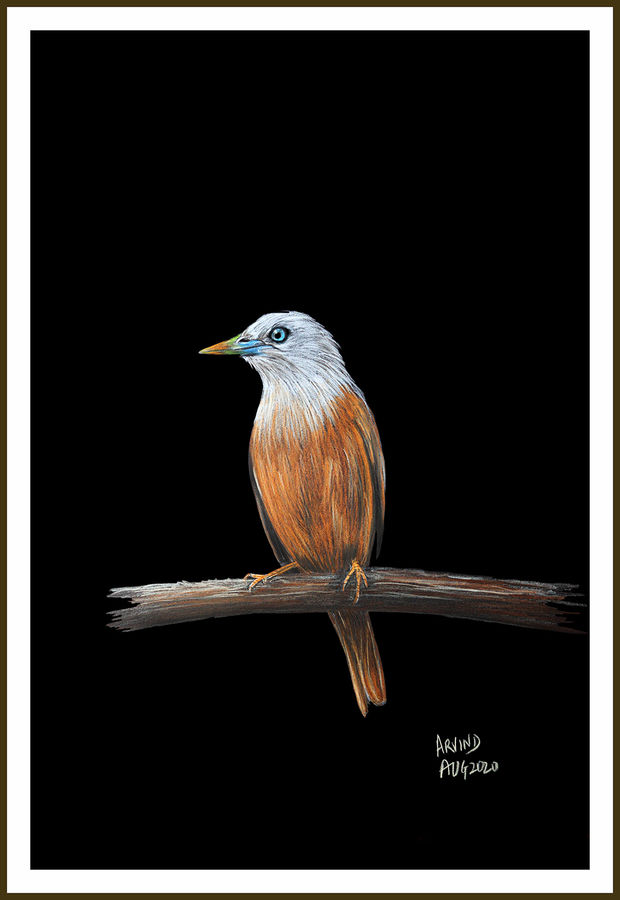 Digital printout of colour pencil sketch of blyths starling on paper