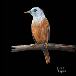 digital printout of colour pencil sketch of ' blyths starling' on paper, 12 x 18 inch, arvind patole,12x18inch,thick paper,drawings,paintings for dining room,paintings for living room,paintings for bedroom,paintings for office,paintings for hotel,paintings for school,paintings for hospital,figurative drawings,fine art drawings,photorealism drawings,paintings for dining room,paintings for living room,paintings for bedroom,paintings for office,paintings for hotel,paintings for school,paintings for hospital,pencil color,paper,GAL02469036093