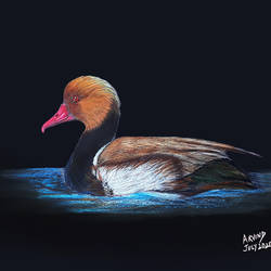 digital reprint of a sketch in colour pencils of a 'common pochard', 18 x 12 inch, arvind patole,18x12inch,thick paper,drawings,art deco drawings,fine art drawings,photorealism drawings,realism drawings,paintings for dining room,paintings for living room,paintings for bedroom,paintings for office,paintings for kids room,paintings for hotel,paintings for kitchen,paintings for school,pencil color,paper,GAL02469036103