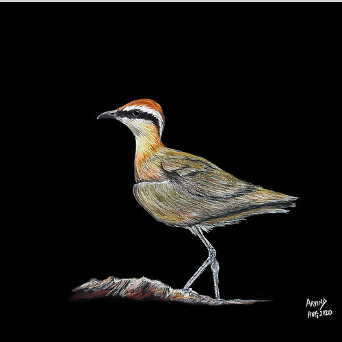 digital reprint of a sketch in colour pencils of a ' courser', 18 x 12 inch, arvind patole,18x12inch,thick paper,drawings,art deco drawings,fine art drawings,photorealism drawings,realism drawings,paintings for dining room,paintings for living room,paintings for bedroom,paintings for office,paintings for kids room,paintings for hotel,paintings for school,paintings for hospital,pencil color,paper,GAL02469036104