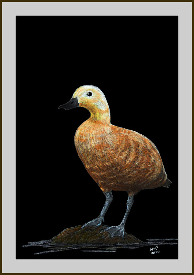 Digital reprint of a sketch in colour pencils of a bramhiny duck