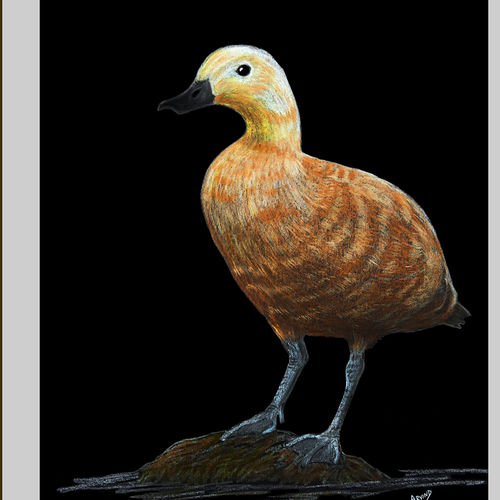 digital reprint of a sketch in colour pencils of a 'bramhiny duck', 12 x 18 inch, arvind patole,12x18inch,thick paper,drawings,art deco drawings,fine art drawings,photorealism drawings,realism drawings,paintings for dining room,paintings for living room,paintings for bedroom,paintings for office,paintings for kids room,paintings for hotel,paintings for school,paintings for hospital,pencil color,paper,GAL02469036105