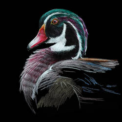 digital reprint of a sketch in colour pencils of a 'wood duck', 12 x 18 inch, arvind patole,12x18inch,thick paper,drawings,art deco drawings,fine art drawings,photorealism drawings,realism drawings,paintings for dining room,paintings for living room,paintings for bedroom,paintings for office,paintings for kids room,paintings for hotel,paintings for school,paintings for hospital,pencil color,paper,GAL02469036106