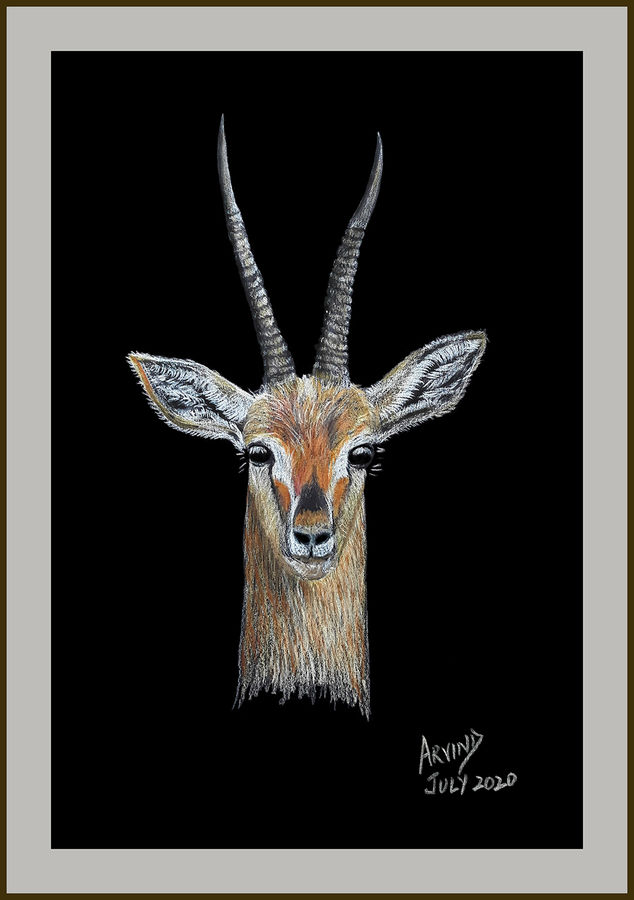 Digital reprint of a sketch in colour pencils of a close up of gazelle