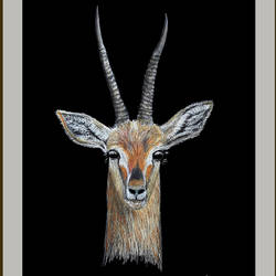 digital reprint of a sketch in colour pencils of a 'close up of gazelle', 12 x 18 inch, arvind patole,12x18inch,thick paper,paintings for dining room,paintings for living room,paintings for bedroom,paintings for office,paintings for kids room,paintings for hotel,paintings for school,paintings for hospital,art deco drawings,fine art drawings,paintings for dining room,paintings for living room,paintings for bedroom,paintings for office,paintings for kids room,paintings for hotel,paintings for school,paintings for hospital,pencil color,paper,GAL02469036112