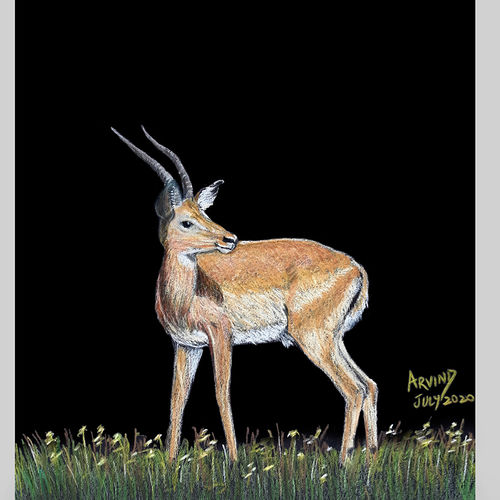 digital reprint of a sketch in colour pencils of a gazelle', 12 x 18 inch, arvind patole,12x18inch,thick paper,drawings,art deco drawings,fine art drawings,photorealism drawings,paintings for dining room,paintings for living room,paintings for bedroom,paintings for office,paintings for kids room,paintings for hotel,paintings for school,paintings for hospital,pencil color,paper,GAL02469036113