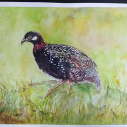 vibrant birds : black francolin, 12 x 17 inch, vaishali singh,12x17inch,thick paper,paintings,wildlife paintings,animal paintings,paintings for dining room,paintings for living room,paintings for bedroom,paintings for office,paintings for hotel,watercolor,GAL02492636455