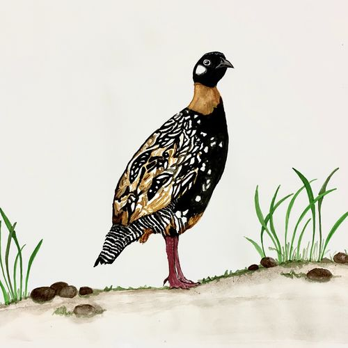 male black frankolin , 16 x 11 inch, shivangini  rathore ,16x11inch,thick paper,paintings,abstract paintings,wildlife paintings,landscape paintings,portrait paintings,nature paintings | scenery paintings,illustration paintings,minimalist paintings,photorealism paintings,photorealism,portraiture,animal paintings,contemporary paintings,realistic paintings,paintings for dining room,paintings for living room,paintings for bedroom,paintings for bathroom,paintings for kids room,paintings for hotel,paintings for kitchen,paintings for school,watercolor,paper,GAL02587137485