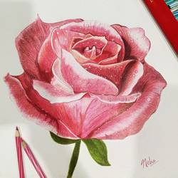 rose, 12 x 16 inch, neha mittal,12x16inch,ivory sheet,paintings,flower paintings,pencil color,GAL02187437974