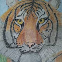 tiger, 11 x 17 inch, kalaivani pazhani,11x17inch,drawing paper,paintings,wildlife paintings,animal paintings,paintings for living room,paintings for office,paintings for kids room,paintings for school,pencil color,GAL02757039144