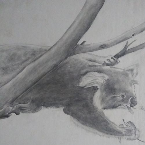 koala eating eucalyptus, 12 x 17 inch, prashant bahuguna,12x17inch,thick paper,drawings,fine art drawings,paintings for dining room,paintings for living room,paintings for kids room,graphite pencil,GAL02585941586