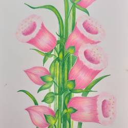 pink blossom, 8 x 11 inch, karishma  shah,8x11inch,thick paper,drawings,fine art drawings,pencil color,GAL03011445310