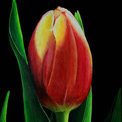 beautiful tulip, 12 x 24 inch, shobin george,12x24inch,canvas,paintings,wildlife paintings,flower paintings,foil paintings,landscape paintings,multi piece paintings,conceptual paintings,still life paintings,nature paintings | scenery paintings,cubism paintings,expressionism paintings,photorealism,realism paintings,realistic paintings,paintings for dining room,paintings for living room,paintings for bedroom,paintings for office,paintings for bathroom,paintings for kids room,paintings for hotel,paintings for kitchen,paintings for school,paintings for hospital,acrylic color,fabric,GAL02366345317