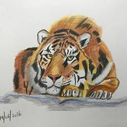 crouching tiger , 12 x 8 inch, rohan  moorthy,realism drawings,paintings for living room,wildlife paintings,drawing paper,pencil color,12x8inch,GAL016884829