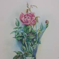 the casual rose, 9 x 11 inch, vineetha  j.malayil ,fine art drawings,paintings for living room,paper,pencil color,9x11inch,GAL020175862