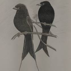 black drongo (finge bird), 14 x 8 inch, sudeshna ballav,wildlife paintings,paintings for living room,drawing paper,pencil color,14x8inch,GAL032507882