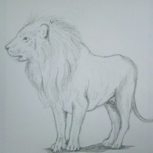 starting lion, 14 x 12 inch, shrishail murkhandi,drawings,fine art drawings,paintings for office,ivory sheet,pencil color,14x12inch,GAL038118857