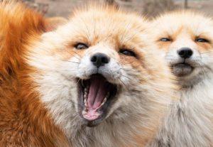 Vou enviar para voce uma pasta com mais de 1100 fotos de raposas!