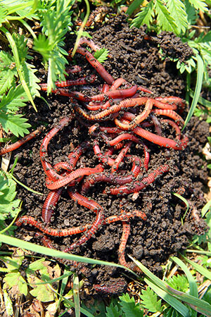 Red Wiggler Composting Worms Garden Tower