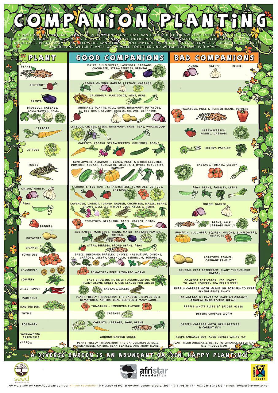 Companion planting infograhic for organic gardening