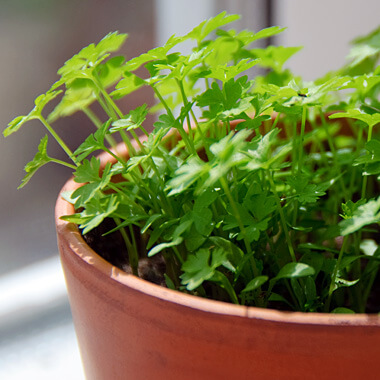 https://www.gardentowerproject.com/images/articles/Parsley.jpg