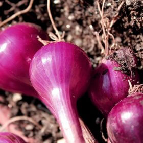 Red onion bulbs.