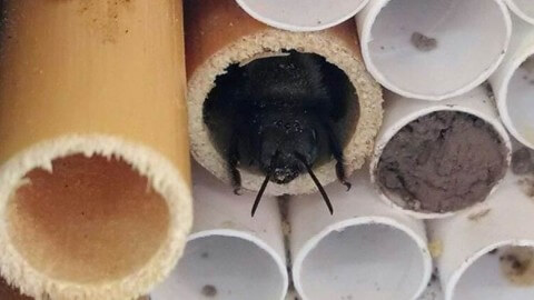 A female mason bee rests in her nesting hole, a natural lake reed.