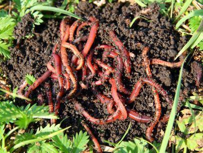 Red composting worms