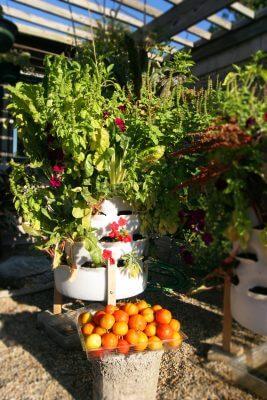 Hilltop Tomato Harvest