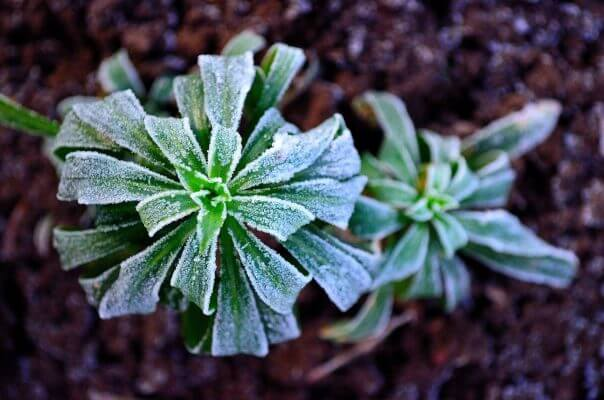 This plant is catching a bit of frost.