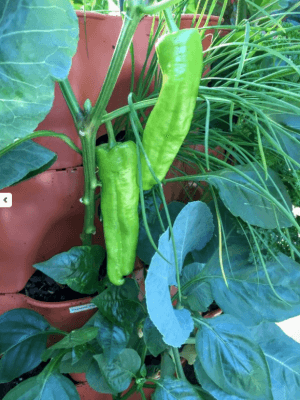 Peppers in Tower